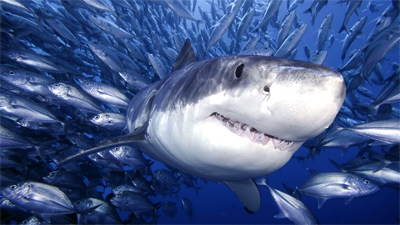 Eat Like a Tiger Shark