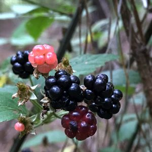 Blackberries on the vine are at maximum ripeness in the Southeast in the month of June. Blackberry Pork Chops just in time for summer.